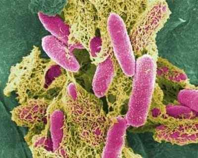Кишечная палочка (E.coli)